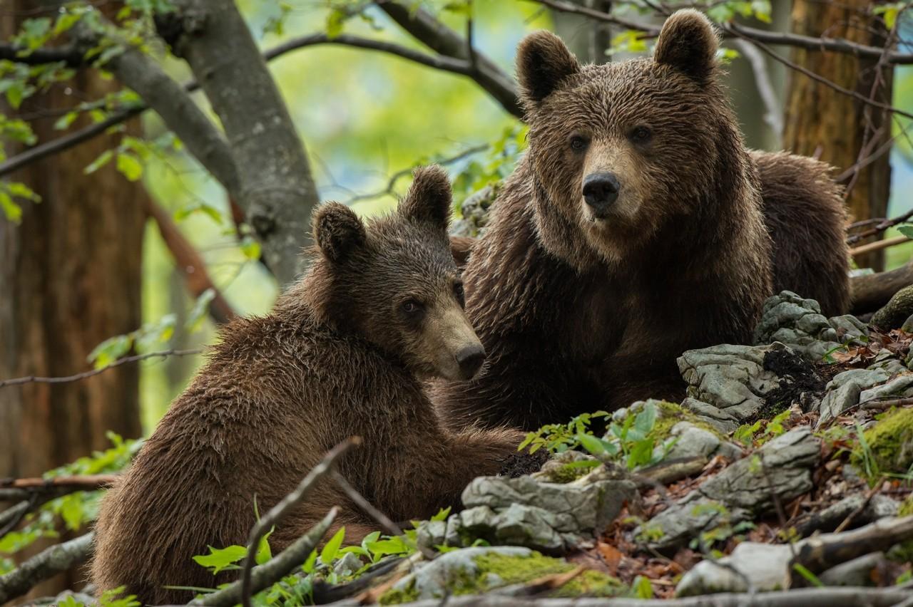 Opazovanje medveda