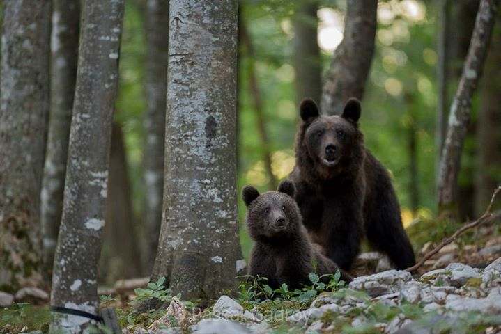 Brown bear watching in Slovenia.