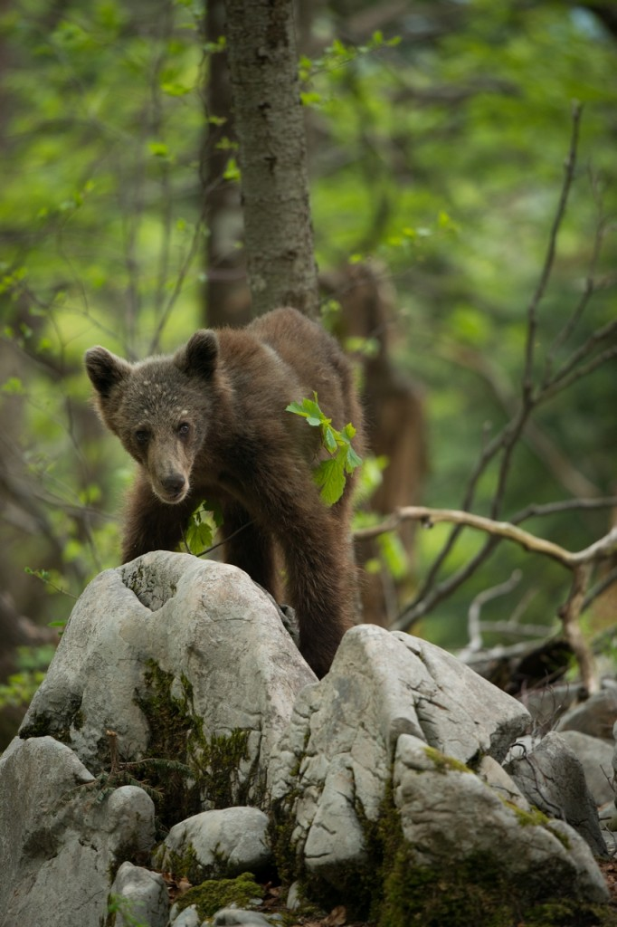 Young bear on rock.