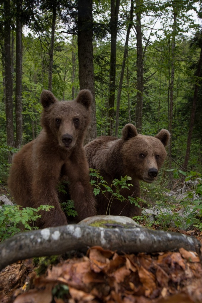 Wide angle brown bears from Slovenia