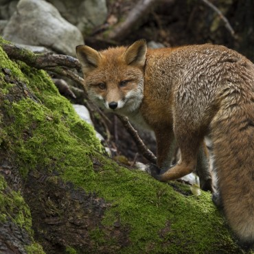 Fox in Slovenian forest. Photo