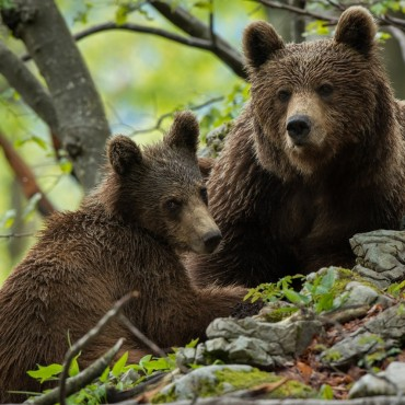 Bear photography in Slovenia