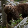 Bear photo in Slovenia