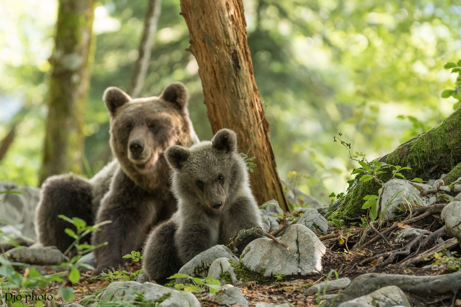 bear watching tours in Slovenia