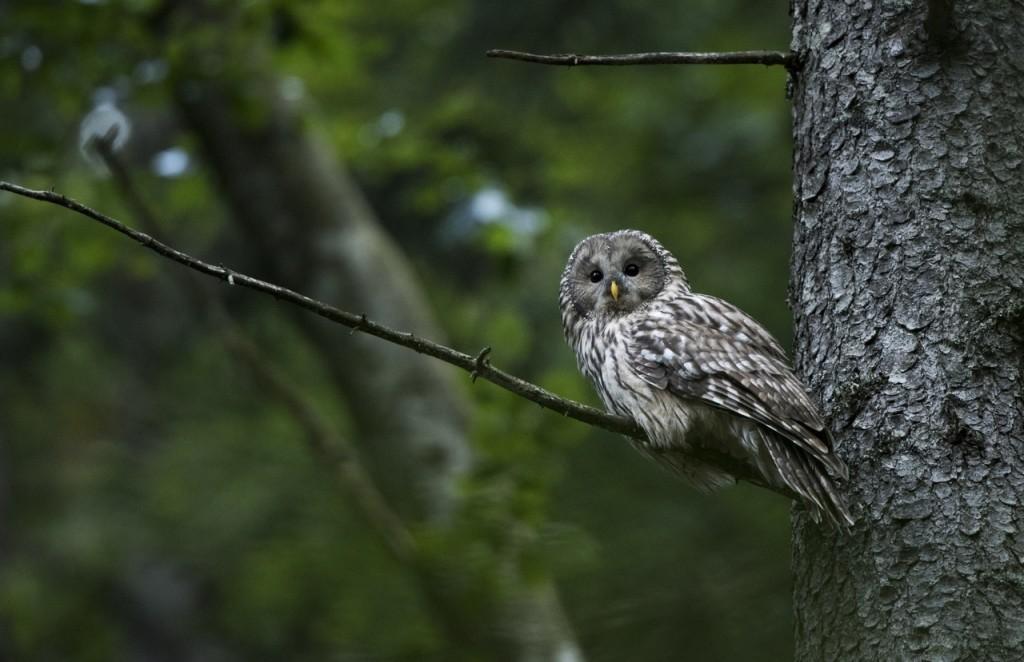 Ural owl Slovenia
