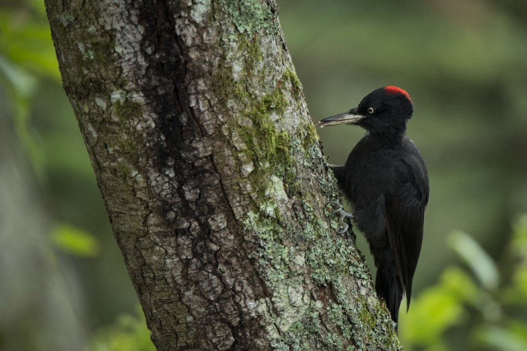 Black woodpecker, regular visitor of our bearhides
