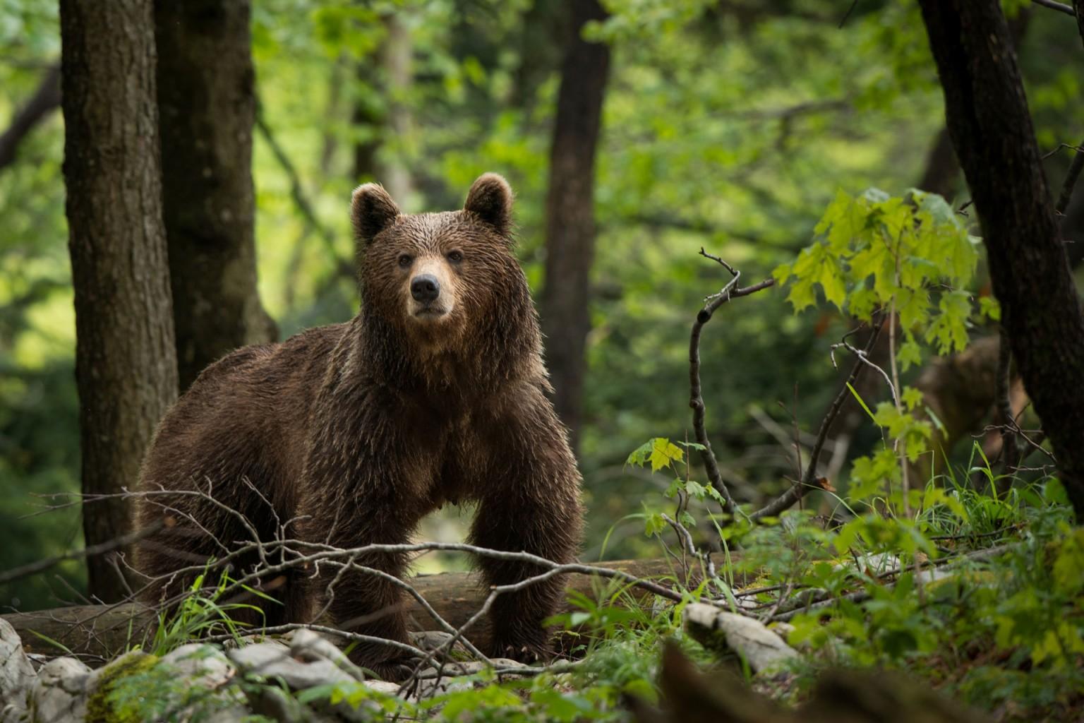 Paket po sledeh medveda