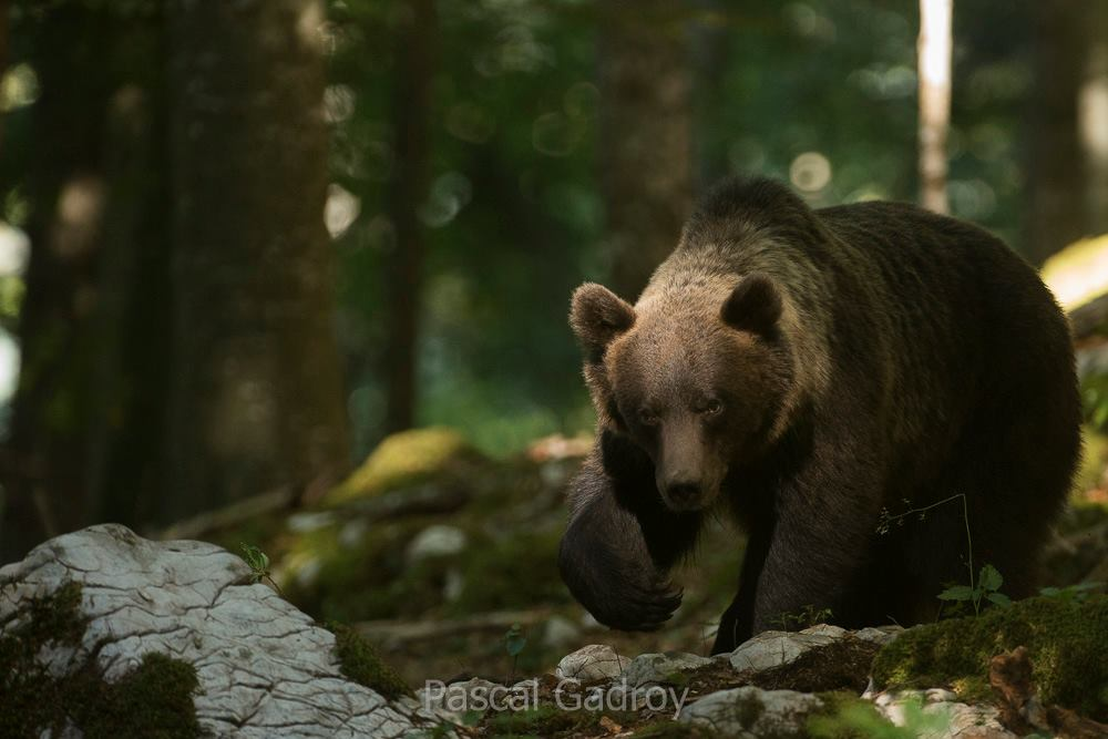 700 Brown bears live in Slovenia