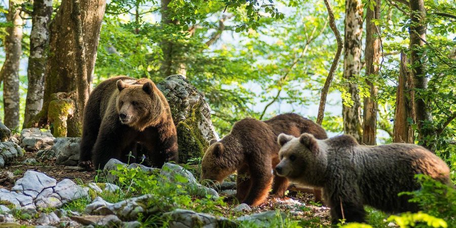 Wildlife photography, bears in Slovenia