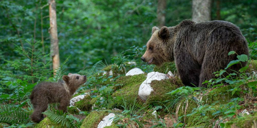 Mama bear with her cub. Slovenia