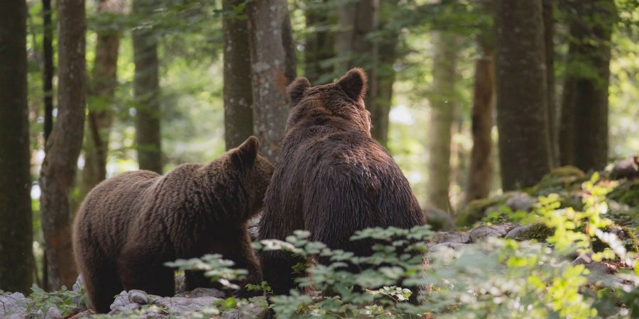 Bears in mating