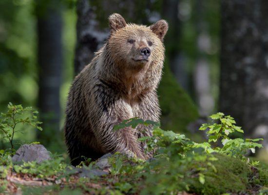 bear brown1